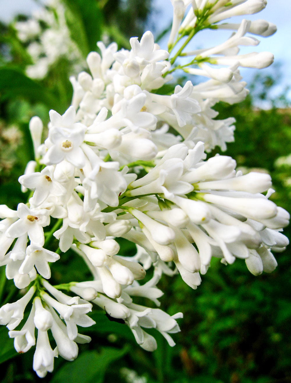 Zuri_Zuberi_flowers_white_2