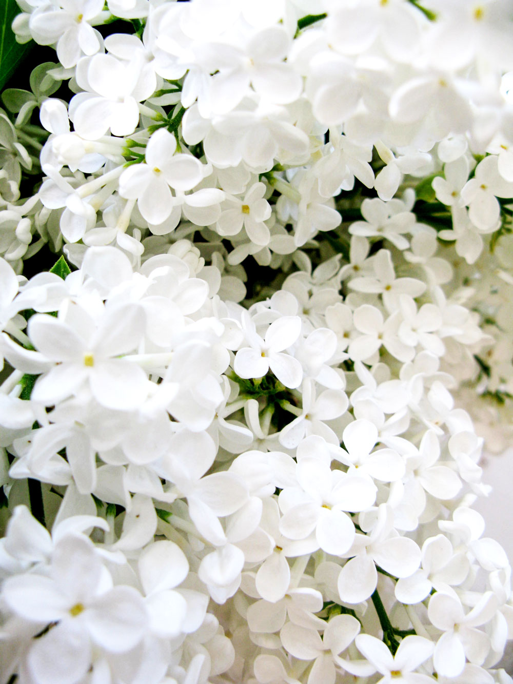 Zuri_Zuberi_flowers_white_3