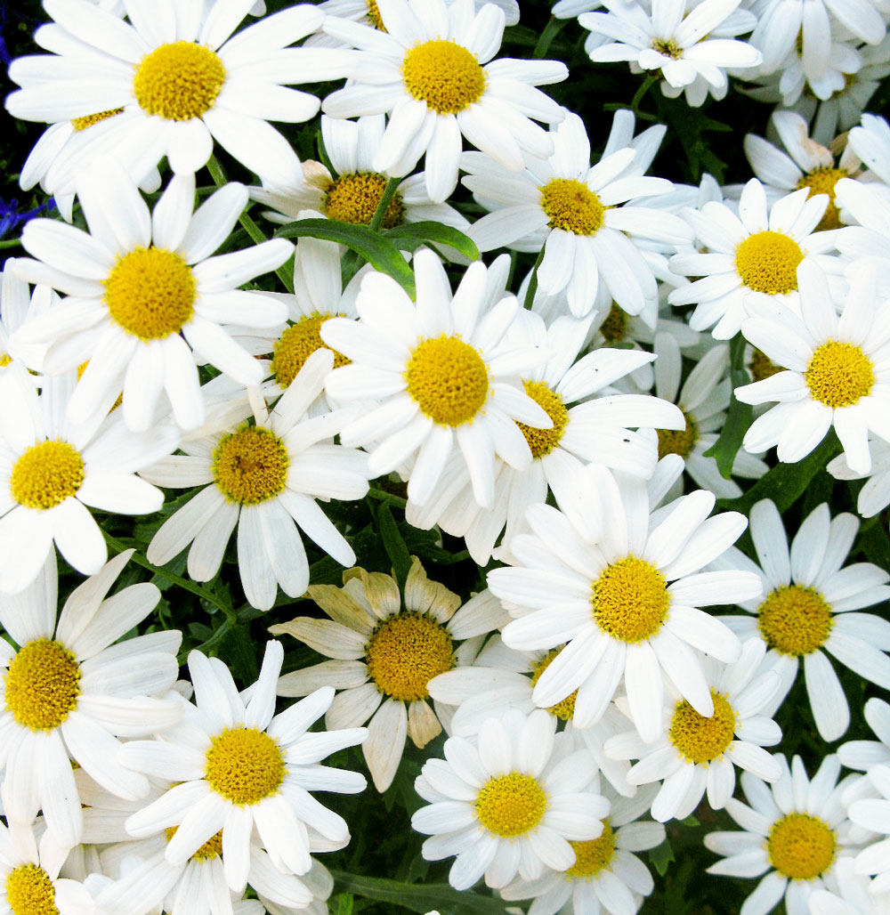 Zuri_Zuberi_flowers_white_4