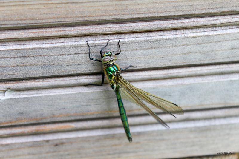 Zuri_Zuberi_Dragonfly