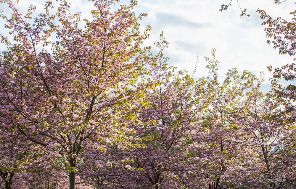Zuri_Zuberi_Cherry_Blossom_2