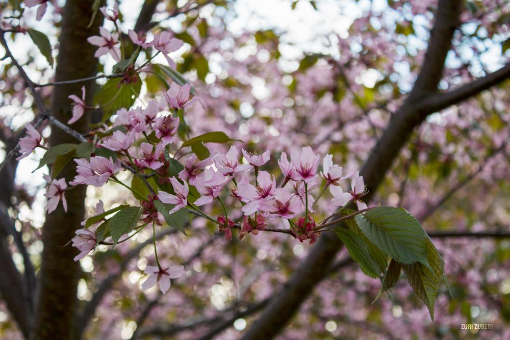Zuri_Zuberi_Cherry_Blossom_4