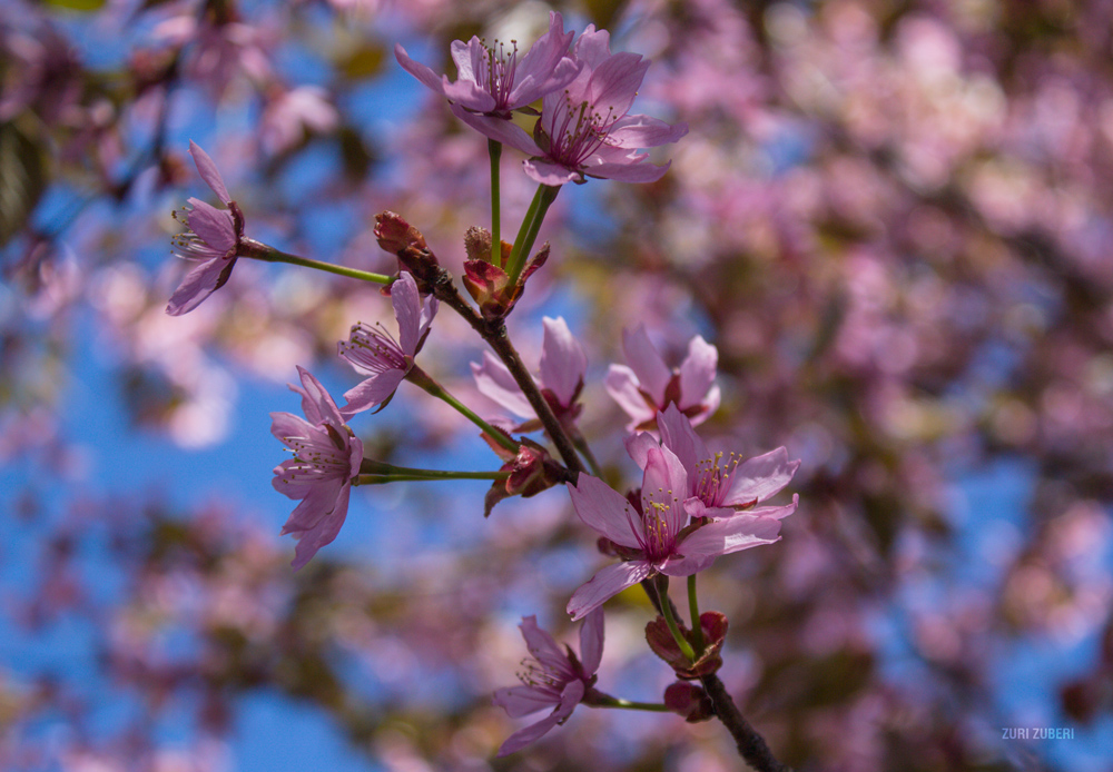 Zuri_Zuberi_cherry_blossom_7